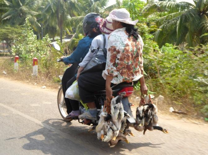 Three ladies, six ducks, one bike.  All on their  way home.