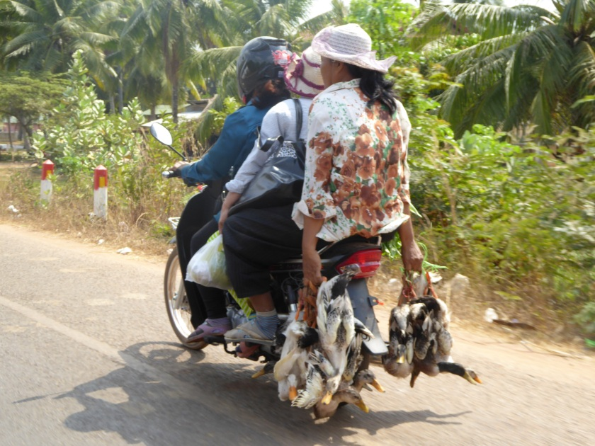 Three ladies, six ducks, one bike. All on their way home.