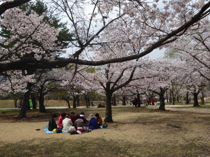 Picnics under the Sakura